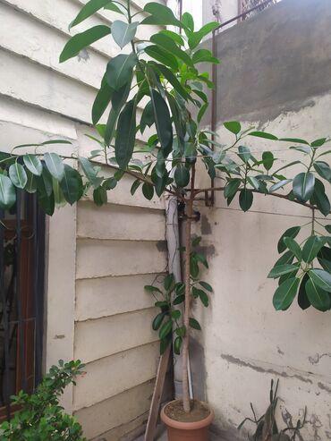 Bitkilər üçün dibçəklər - Azərbaycan: Fikus ağacı