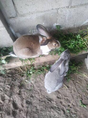 62 объявлений: Позвоните или напишите если у вас есть дикий зайец самка