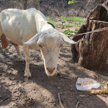 37 объявлений | ЖИВОТНЫЕ: Продаю | Коза (самка) | Зааненская | Для молока
