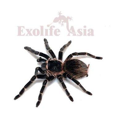 Лошадиный паукlasiodora parahybanaразмер тела 8смИнформация по