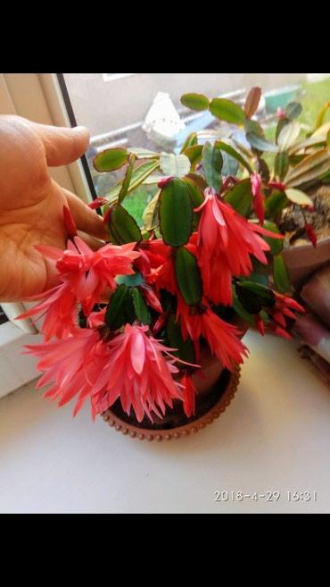 Цветы шлюмбергер большой по200с малые по 150с в Лебединовка