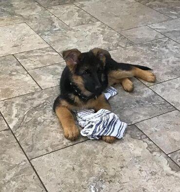 Reno klio - Zajecar: Dostupni su štenci njemačkog Sheparda.Snažni, aktivni i skloni štenad