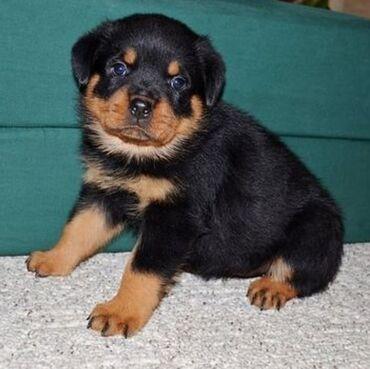 Για σκύλους - Αθήνα: Rottweilers puppies available for rehoming Potty trained, vaccinated