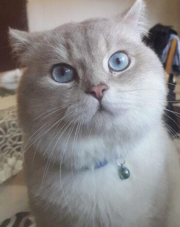 Шиншилла кот (вязка) Satilmir! Кот для спаривания.