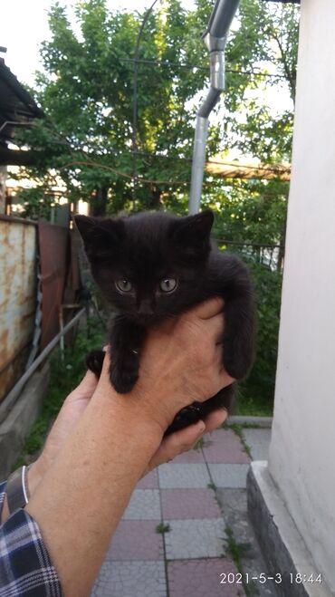 Коты - Кыргызстан: Отдадим котят 1.5 месяца, есть мальчики и девочка