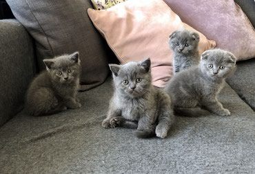 Silver Bengal Kittens For Sale σε Athens