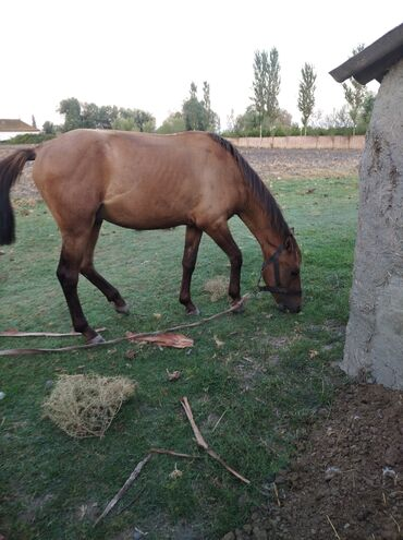 Yaxşı Araba atı satılır 3 yaşındadır Qiymət son 450 manat