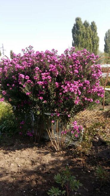 Семена и уличные растения - Сокулук: Продаю германскую хризантемы куст