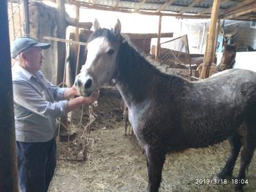Кобыла Чуйской породы 3 года откормленная не жерёбая в Бишкек