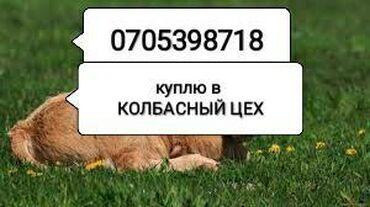 jelektriki na vyzov в Кыргызстан: Куплю скот в колбасный цех любого возраста любой упитанности в любое