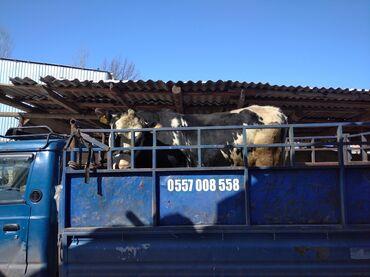 продам почки в Кыргызстан: Продаю | Бык (самец) | Голштин | На забой, Для разведения | Осеменитель