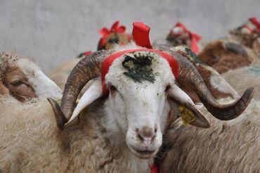 qoyunlar - Azərbaycan: Tel SAMILQurbanliq Qoyunlar satilir Kurdemir erazisinde yaylaqlarda
