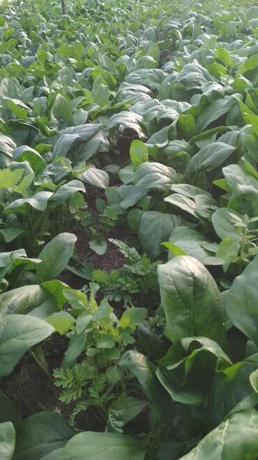 Другие продукты питания - Кыргызстан: Салаты Зелень оптом