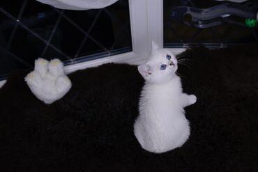 British Blue Shorthair Kitten προς πώληση Έχουμε άνδρες και γυναίκες