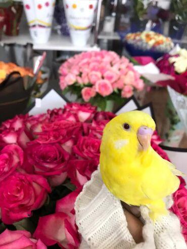 Птицы - Кыргызстан: Волнистые попугаи с клеткой доставим куда угодно.Доставка по городу