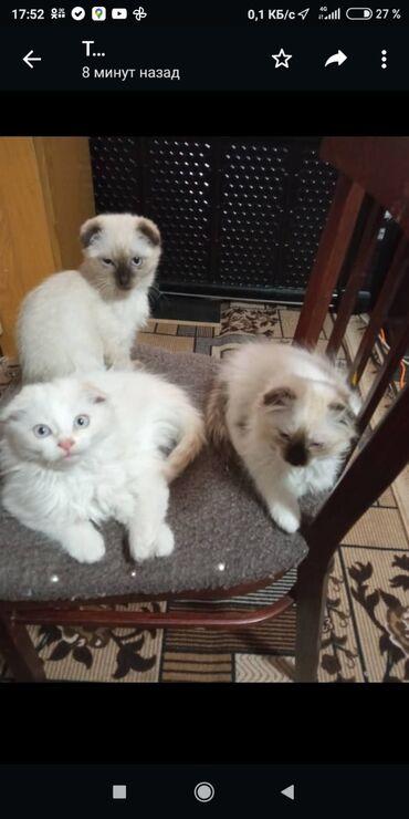 244 объявлений | ЖИВОТНЫЕ: Продаются вислоухие котята.Возраст 2 месяца.Кушают сукой корм и с