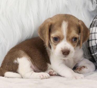 Πωλούνται κουτάβια Beagle σε κάθε σπίτι με αγάπη και φροντίδα. Είναι