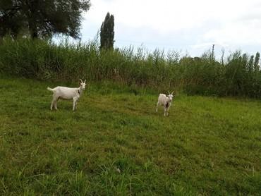 Козел  на племя, козлята, козы дойные в Беловодское