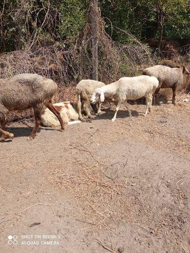 Животные - Луговое: Продаю Баранов 2матки и 3 мириноса