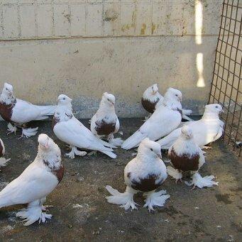 андижанские голуби продажа ош 0556511198 в Ош