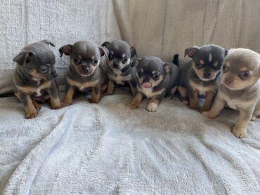 Εκπληκτικά κουτάβια Chihuahua Όλα τα κουτάβια θα ελεγχθούν για την υγε