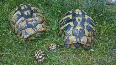 Sumske kornjace, kucni ljubimci. - Vladicin Han