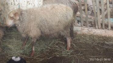 Продаю | Овца (самка), Ягненок | Полукровка | Для разведения | Племенные, Матка, Ярка