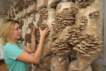 сканер продуктов в Кыргызстан: Продаю грибы вешенки, очень вкусные и правильно выполненные если п