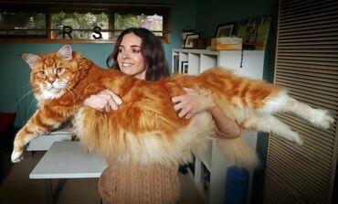 Коты - Кыргызстан: Мейн кун Коты гиганты. Продажа котят породы мейн-кун . Питомник Мейн-к