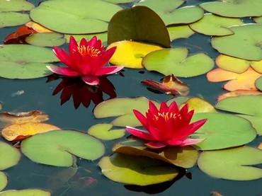 Саженцы - Ак-Джол: Куплю лилия (кувшинка) для пруда разного цвета не дорого
