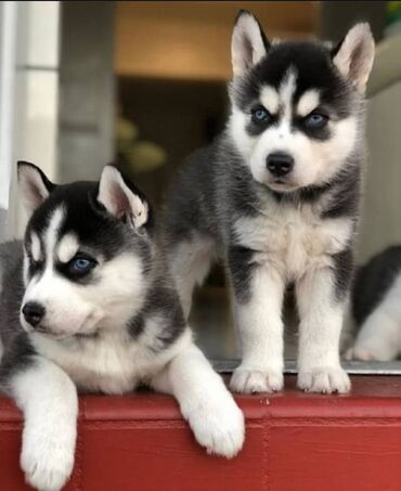 Siberian husky για υιοθεσία μικροτσίπ, ελεγμένο κτηνίατρο, όλα