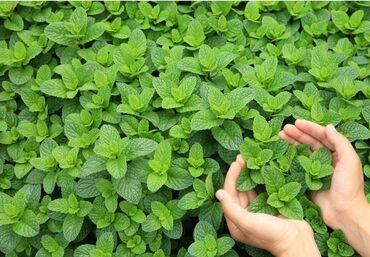 26 объявлений: МЯТАРод растений семейства Яснотковые. Все виды сильно ароматичны