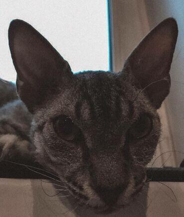 Продаются котята сфинкс. Браш. Им по 2 месяца. Проглистованы и