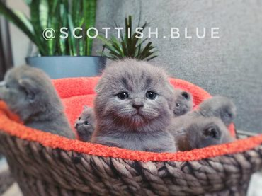Шотландские котята голубого окраса! в Бишкек