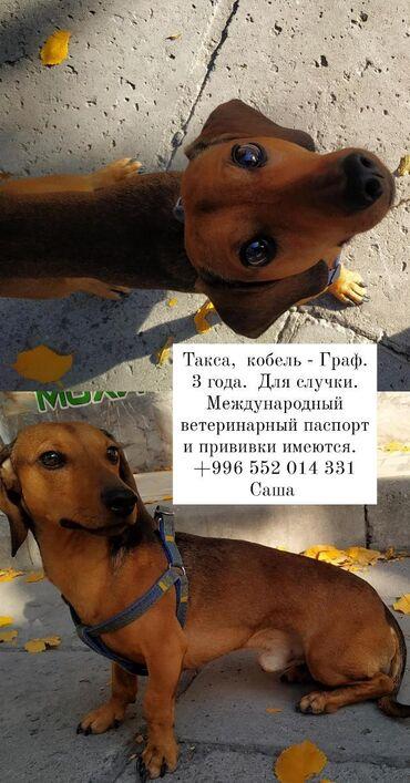 Кобель для вязки. такса. для случки. международный ветеринарный паспо