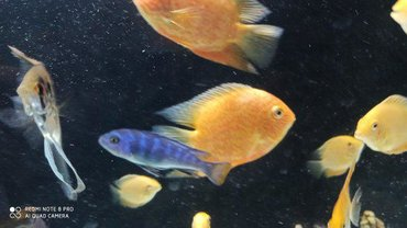 Red Severum Barter