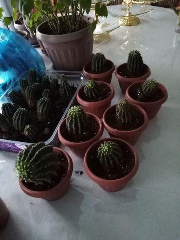 Комнатные растения - Кыргызстан: Продаю кактусы