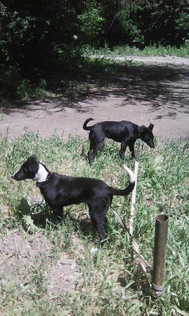 Собаки терьеры,девочки 5 месяцев очень в Бишкек