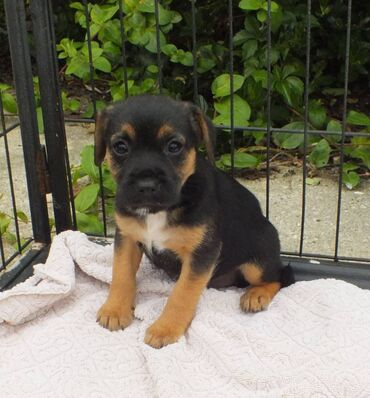 Jack Russell κουτάβιαΌμορφη κουτάβι Jack Russell Puppies. Γενεαλογία