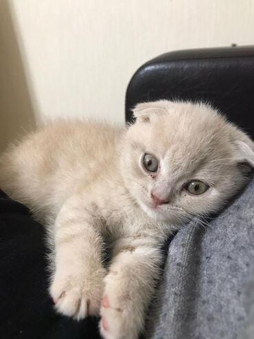 вислоухий сиамский кот в Азербайджан: Скотиш Фолд Мальчик. 40 дней. Чистокровный вислоухий Шотландец от пра