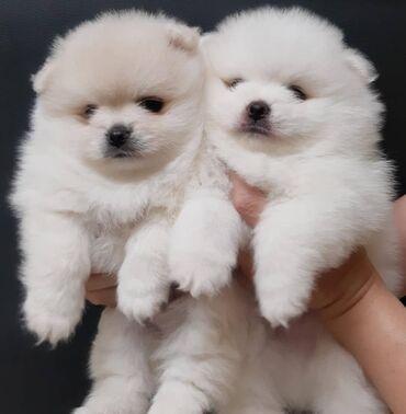 Για σκύλους - Αθήνα: Cute Pomernian puppies for sale  WhatsApp. +33  Cute Male and femal