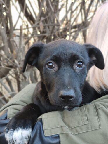 продажа щенков алабая в Кыргызстан: Замечательная девочка, возраст 3 месяца, живет на домашней передержке