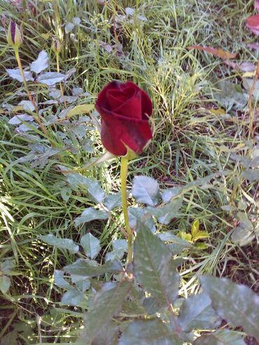"""16 объявлений: Продаю цветы"""" розы"""" для озеленения . Полесадника. клумб. есть разные"""