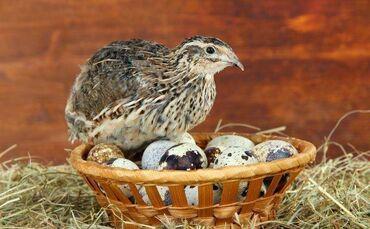 Животные - Нарын: Нарын шаарында бодононун(перепелиный яйцо) жумурткалары сатылат