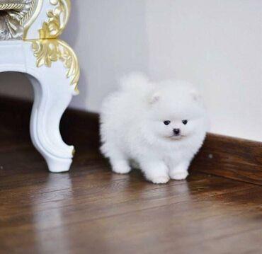 Κουτάβια PomeranianΧαριτωμένα κουτάβια Pomeranian για επανένταξηόμορφα