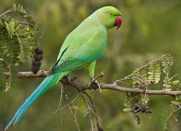 Ожереловые попугаи  Птенцы  Хорошо приручаются! Хорошо учатся говорит