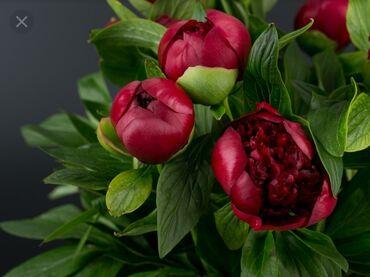 редуслим купить в бишкеке в Кыргызстан: Пионы читайте внимательно куплю цветы пионы оптом звоните в любое вр