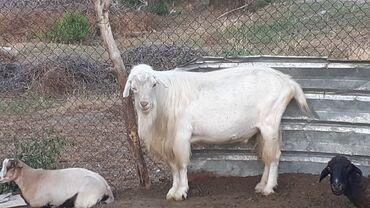 Животные - Чон-Далы: Козы, козлы