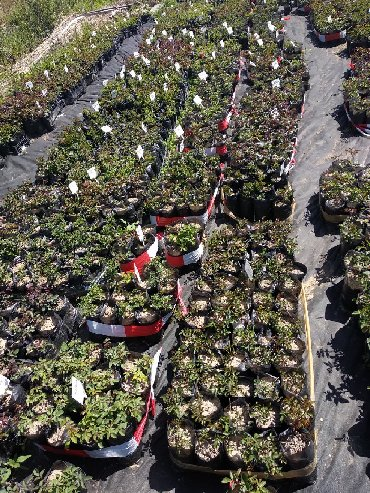 Дом и сад в Кыргызстан: Огромный выбор саженцев роз в пакет-горшках и с открытой корневой (
