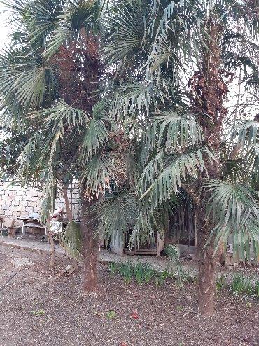 Otaq bitkiləri Gəncəda: 2 eded Palma agaci satilir. Ikisi 1500 azn. 12 ilin agaclaridit